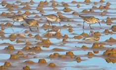 """Waders on the beach - a painting from wildlife artist and illustrator Chris Rhodes. """"Just finished this last painting for my one-man show in time; framed and hung yesterday with the paint still wet! Wildlife Art, Paper Size, Giclee Print, Bird, Rhodes, Frame, Illustration, Artist, Flowers"""