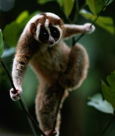 this is the slow loris one of the worlds most endangered animals but one of the worlds cutest animals! Primates, Mammals, Slow Loris, Cute Funny Animals, Cute Baby Animals, Beautiful Creatures, Animals Beautiful, Most Endangered Animals, Endangered Species