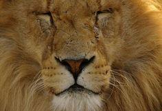 Hehehe the seepy lion named Alphie!
