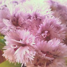 Pink / Szegfűk