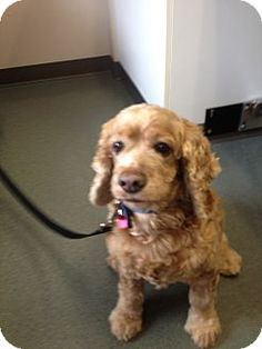 BUZZ: Bellingham, WA: Cocker Spaniel Mix.  Neutered, house trained & UTD w/ shots, almost 40 lbs.  Buzz was rescued last yr from an E. Washington shelter. He is probably 12 - 15 yo...with chronic medical issues. Buzz's ears & teeth were a mess! Buzz ... does have some special needs.... Buzz is deaf. Buzz is an active guy who loves to go out on walks. He has a few more great years in him & would just love to share those with you! Definitely a people dog.. Nikki Larson (360) 209-4450