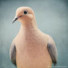 Mourning Dove.  This little guy is posing for his portrait!