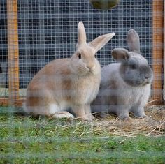 My girlies are loving their new larger garden home. They were running laps of it today so they should sleep well tonight. #rabbits #dwarflop #bunnies #familypet