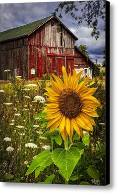 Old Barn beautiful by Meadow Flowers and cheerful Sunflower. Country Barns, Country Living, Country Roads, Country Farmhouse, Southern Living, Meadow Flowers, Wild Flowers, Exotic Flowers, Flowers Garden
