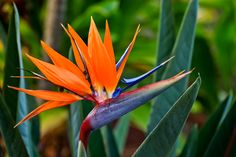 Hawaii Bird of Paradise Flower