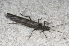 Little Black Stonefly Adult