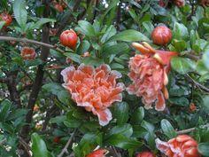 GRENADE fleurs   Grenadier: un arbre pour la fleur et le fruit