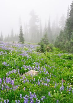 misty meadow of lupins, Mt Rainier, WA, by Cocoa Dream