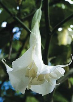 Brugmansia x candida 'Double White'