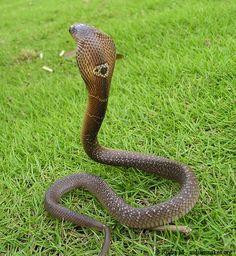 Monocled Cobra  (naja kaouthia)