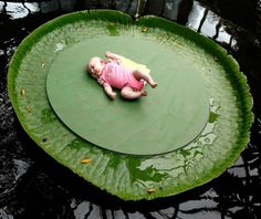 Victoria Amazonica, the world's largest water lily.  Strong enough to not just support this baby - but as much as a 300 lb. person.