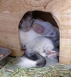 chinchilla pile. Chinchilla buts are cute too!