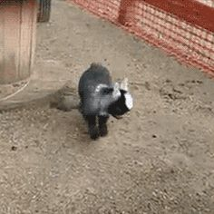 This goat AGAIN BECAUSE LOOK AT HOW HAPPY SHE IS. | 23 Goats Who Cannot Believe They're Really Goats