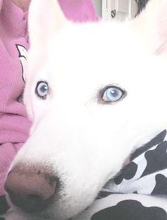 Pretty Blue Eyes, Husky, Dogs, Animals, Animales, Animaux, Pet Dogs, Doggies, Animal