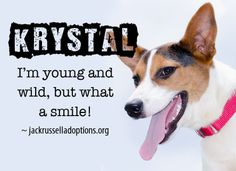 Today's featured Terrier mix rescue for adoption, foster or sponsorship - Krystal!