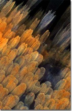 Molecular Expressions Microscopy Primer: Specialized Microscopy Techniques - Darkfield Photomicrography Gallery - Butterfly Wings