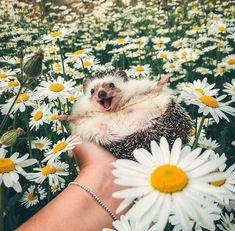 15 photos of cute animals that will turn even the most bitter - Pictures cute and adorable animals - Happy Hedgehog, Hedgehog Pet, Cute Hedgehog, Cute Little Animals, Cute Funny Animals, Happy Animals, Animals And Pets, Animal Pictures, Cute Pictures