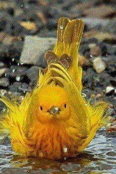 bath time--yellow warbler.