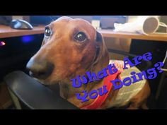 he s obsessed dastardly and funny dachshund videos pinterest