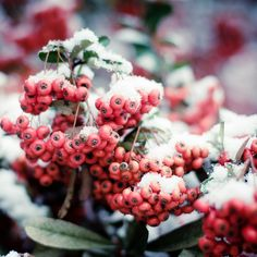 Shabby chic decor berries winter christmas red pink green lady mom white for her gifts First snow fine art photograph