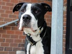 Manhattan Center BISHOP – A1066203 MALE, BLACK / WHITE, AM PIT BULL TER MIX, 3 yrs STRAY – STRAY WAIT, NO HOLD Reason STRAY Intake condition UNSPECIFIE Intake Date 02/27/2016, From NY 10453, DueOut Date03/01/2016,