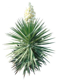 Yucca Filamentosa, Shrubs, White Flowers, Tropical, Photoshop, Landscape, Plants, Garden, Image