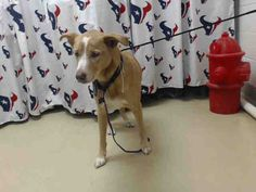 09/12/2016 SUPER URGENT ADOPT BOBO ID#A467487 TO BE DESTROYED at Harris County…