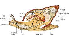 Gastropod anatomy