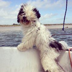 Happy Charlie! The excitement of seeing land! Tibetan terrier