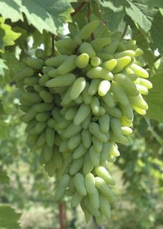 Green elongated grapes on vine