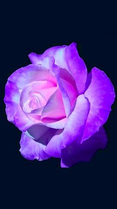 Bendita y hermosa, te amo. Whenever we approached the Flores & Prats company, we needed Beautiful Rose Flowers, Rare Flowers, Love Rose, Exotic Flowers, Amazing Flowers, Rose Pictures, Purple Roses, Black Roses, Flower Wallpaper
