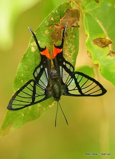 Octauius Swordtail (Chorinea octauius)  is a species of butterfly of the Riodinidae family. It is found in South America.