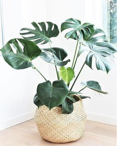 58 DIY Plant Stand ideas to Fill Your Living Room With Greenery - Page 20 of 58 - VimDecor living room decoration, plant stand decor, greenery decoration, plants indoor living room Easy House Plants, House Plants Decor, Living Room With Plants, Bedroom Plants Decor, Plantas Indoor, Banana Plants, Banana Plant Indoor, Diy Plant Stand, Plant Stands