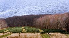 A Christmas tree farm in Zionville, North Carolina (© Coke Whitworth/Aurora Photos) ©