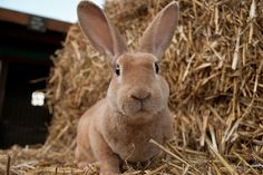 Barley the Rex Rabbit