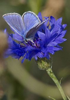 BLUE BUTERFLY ON BLUE FLOWER