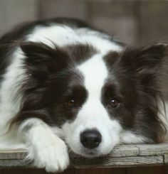 A Young Border Collie Worrying? #bordercollie