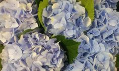 #Hydrangea #VerenaBlue; Available at www.barendsen.nl
