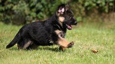 puppy german shepherd - Szukaj w Google