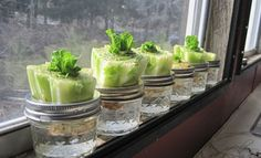 Re-growing Lettuce It?s not a hard concept. Stick the crown end in water after you& cut off all the lettuce. I figured I ?d give it a shot and I have to say, so far I have been amazed.ll see what happens going forward. Growing Plants, Growing Vegetables, Regrow Vegetables, Container Gardening, Gardening Tips, Organic Gardening, Organic Farming, Growing Lettuce, Edible Garden