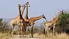 Safari i Kruger og storbyferie i Cape Town Giraffe Facts For Kids, Fun Facts About Giraffes, Wild Life, Free Photos, Free Images, Giraffe Images, Amazing Animals, Germany Castles, Fairytale Castle