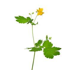 Der gelbe Milchsaft aus den Stängeln des Schöllkrauts macht die Pflanze so wertvoll für die Behandlung von Warzen. Im Volksmund wird das ...