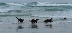 #Otters playing on #Scarborough beach in #CapeTown. What an incredible sight. (Watch the short video clip.)