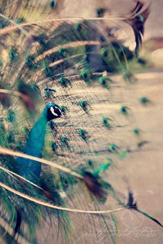Abstract Fine Art Photograph, Peacock, Feathers, Vintage Tone Texture, Sapphire Blue, Sage Green, Bird Lover, Home Decor,  8x12 Print
