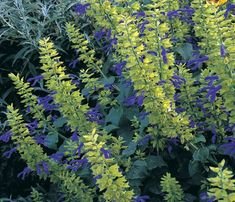 Salvia 'Limelight'