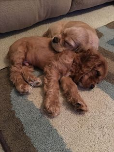 >>>Cheap Sale OFF! >>>Visit>> 10 week old Cocker Spaniels Perro Cocker Spaniel, American Cocker Spaniel, Clumber Spaniel, Cute Baby Animals, Animals And Pets, Funny Animals, Cute Puppies, Cute Dogs, Dogs And Puppies