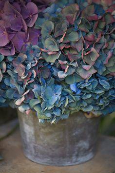 antique hydrangea.