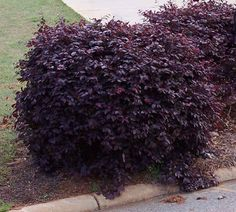 BUY 3!$ Loropetalum 'Purple Diamond' - The perfect shrub for front  this deep purple variety puts on a show of fringy hot pink flowers several times throughout season paired w/ the deep green of a holly.