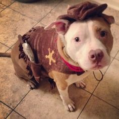 Cowbully - 14 Pit Bulls Who Are Totally Feeling Halloween   The Wet Nose Press
