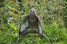An elegent buzzard listen out for their cat-like, 'kee-yaaa' calls as they soar in high circles over grassland, farmland and woodlands. Photographer Karen Cruddis